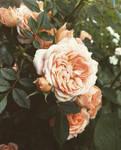 Season of Roses