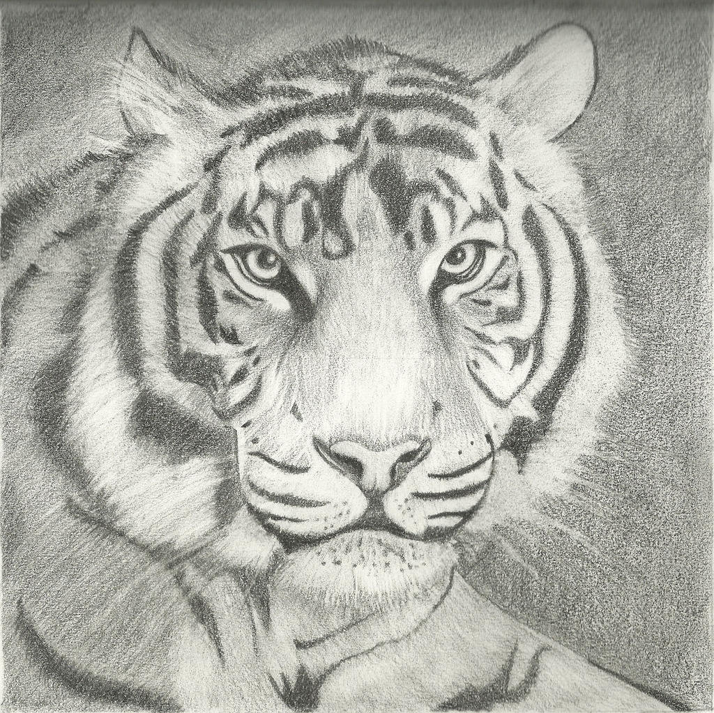 Drawings Of Tigers In Pencil | www.pixshark.com - Images ...