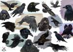 Sketches ravens