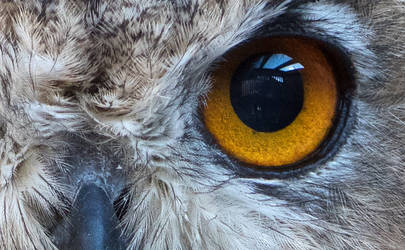 The eye of the eagle owl