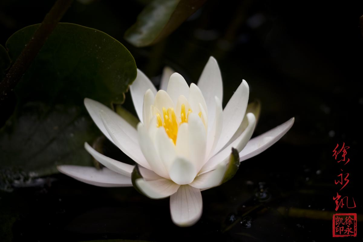 Lotus Flower by juhitsome