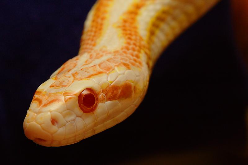 Corn Snake by Karl-B