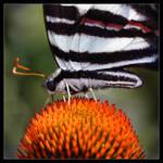 Zebra Swallowtail - ConeFlower