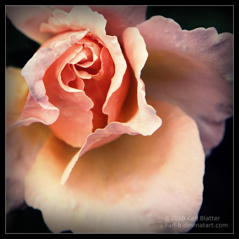 Pink Rose - Square by Karl-B