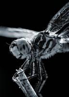 Dragonfly - Noir by Karl-B