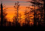 Cypress After Sunset