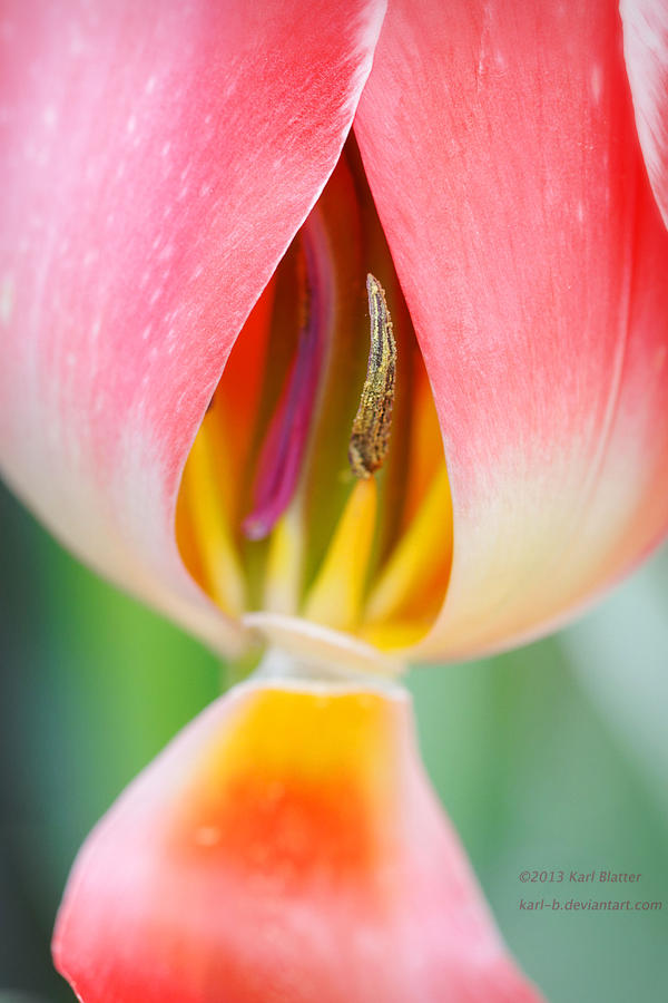 Tulip (X-ray) by Karl-B