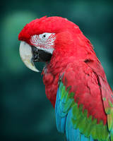 Red Wing Macaw by Karl-B