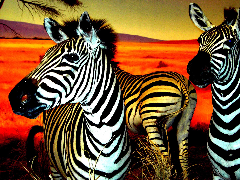 Yay for Zebra by RoyalLuna