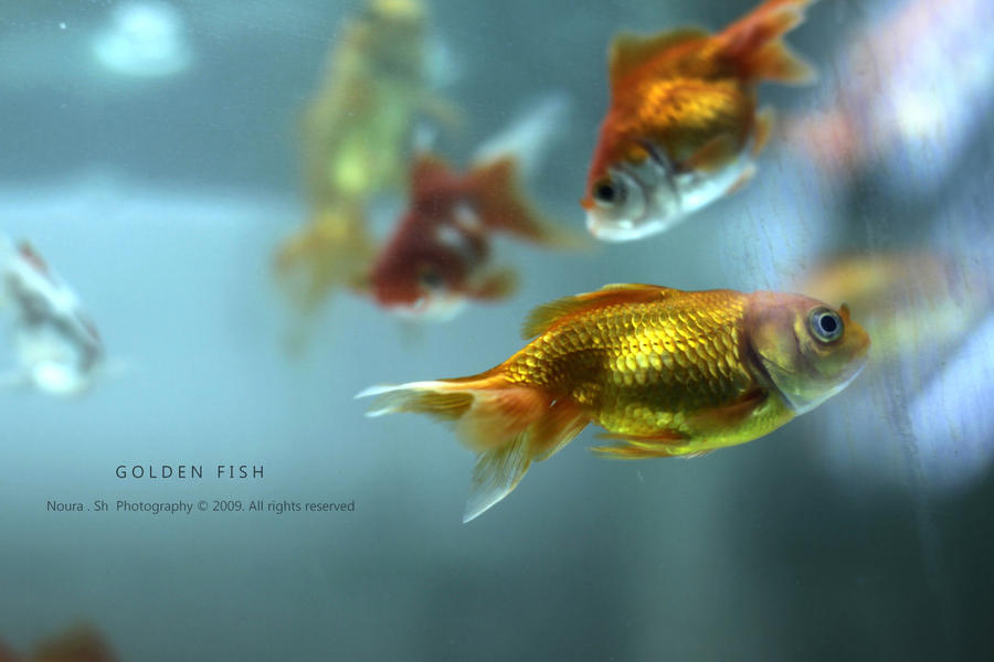 Golden Fish Wallpaper Golden Fish by Yunaaa6