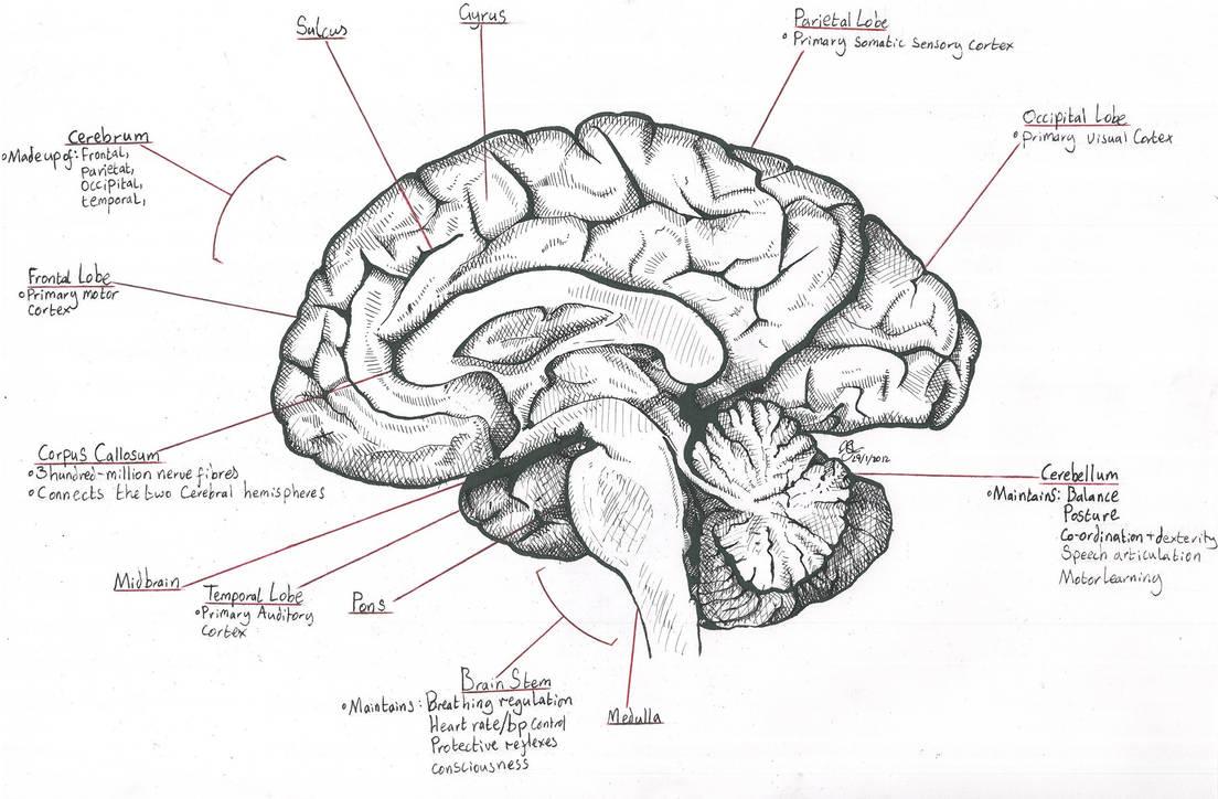 Mid-Sagittal Section through the Human Brain by Destroma