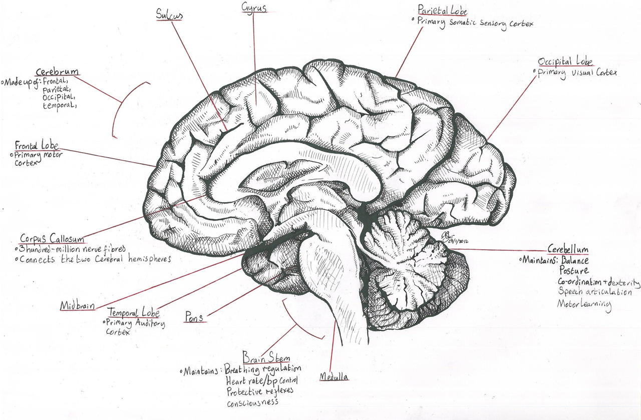Diagram Of The Sagittal View Of The Human Brain - Electrical Work ...