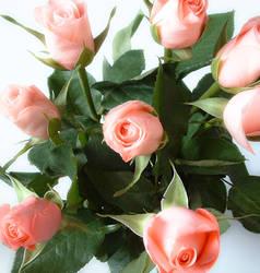 Roses by muban