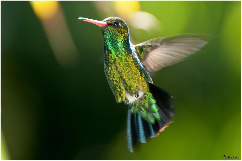 Colibri by Ninaquilla
