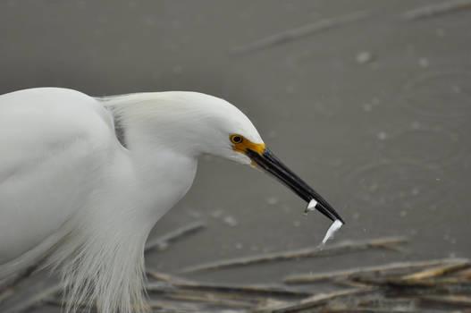 An Egret's Lunch