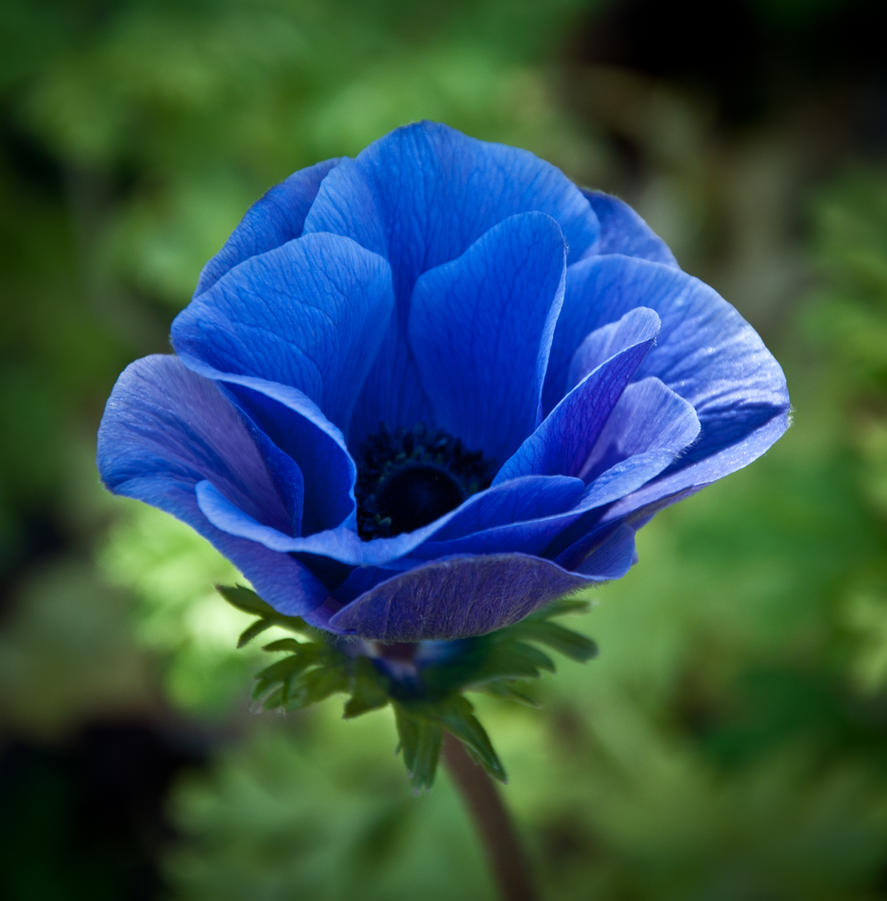 Blue Anemone by Carise on DeviantArt