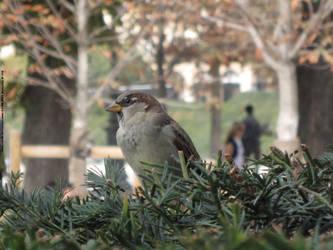 The sparrow by CJ-DB