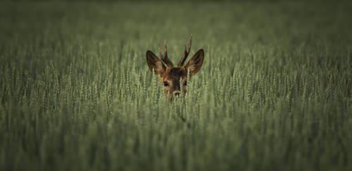 Roe deer hiding in the wheat
