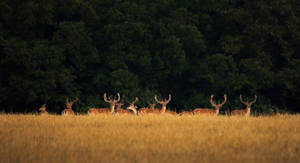 Fallow Deer herd by MoonKey19