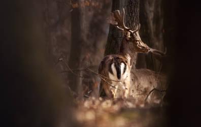 Fallow Deer in the woods II