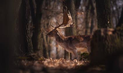 Fallow Deer in the woods III