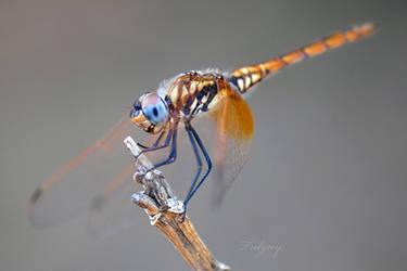 Dragonfly-10