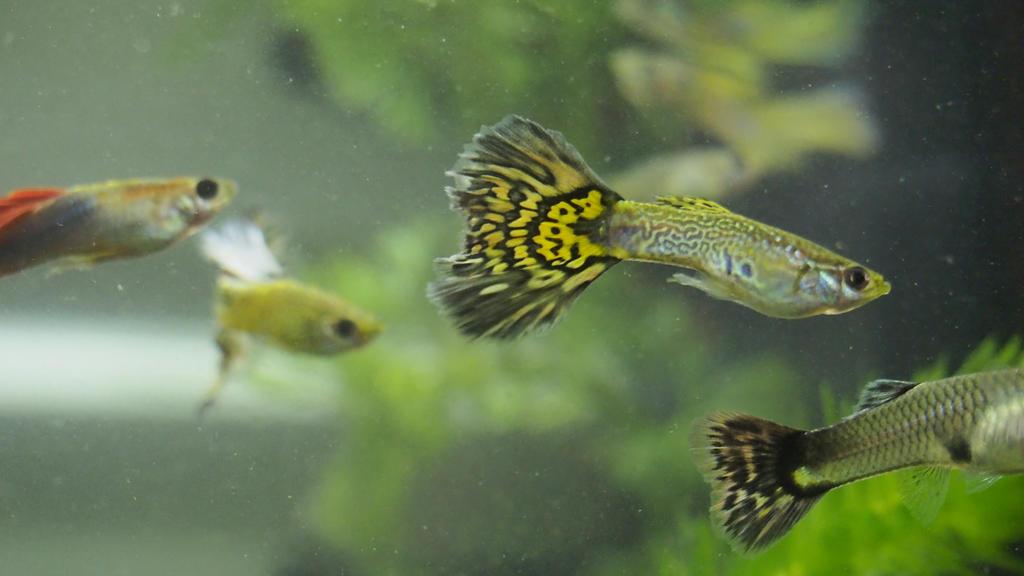 Guppy fish eggs