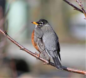 spring robin by PhotoF0X