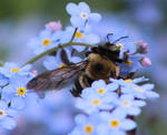 bumble bee by PhotoF0X