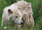 summer wolf