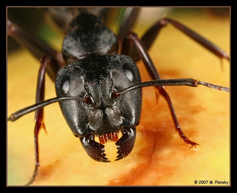 Les fourmis Ant_portrait_by_mplonsky-d3c6itc