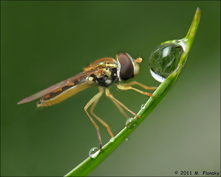 Hoverfly And Water Drops By Mplonsky