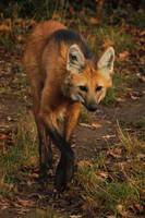 Maned Wolf by kaenguruu