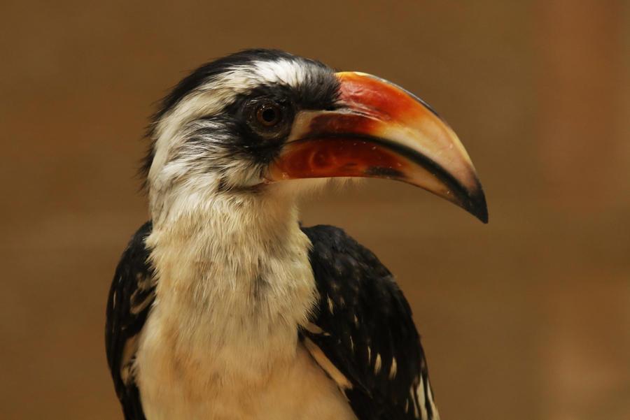 Von der Decken's Hornbill by kaenguruu