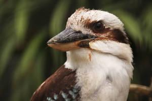 Laughing Kookaburra by kaenguruu