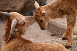 Barbary Sheep by kaenguruu