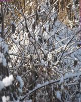 Snow by segroeg