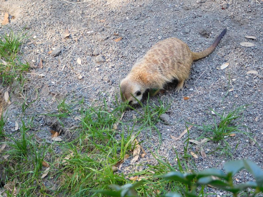 Meerkat by Weskeer248