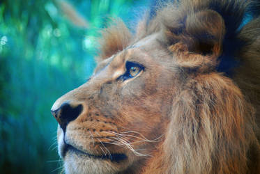 Lion Close-up by 1wolf-photography