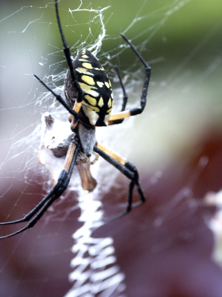 Spider by MizuKage4