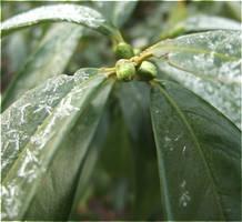 Green Frost by laracoa