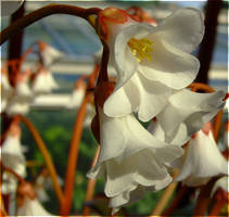 Blossom Bells by laracoa