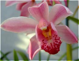 Pink Blossom by laracoa