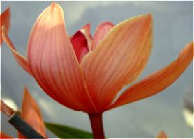 Big Blossom by laracoa
