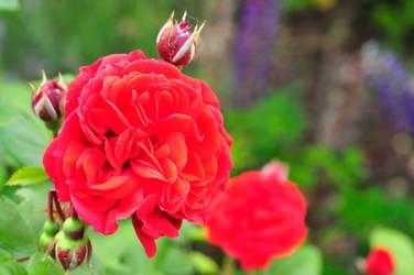 Dat Rose by laracoa