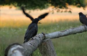 Crows by laracoa