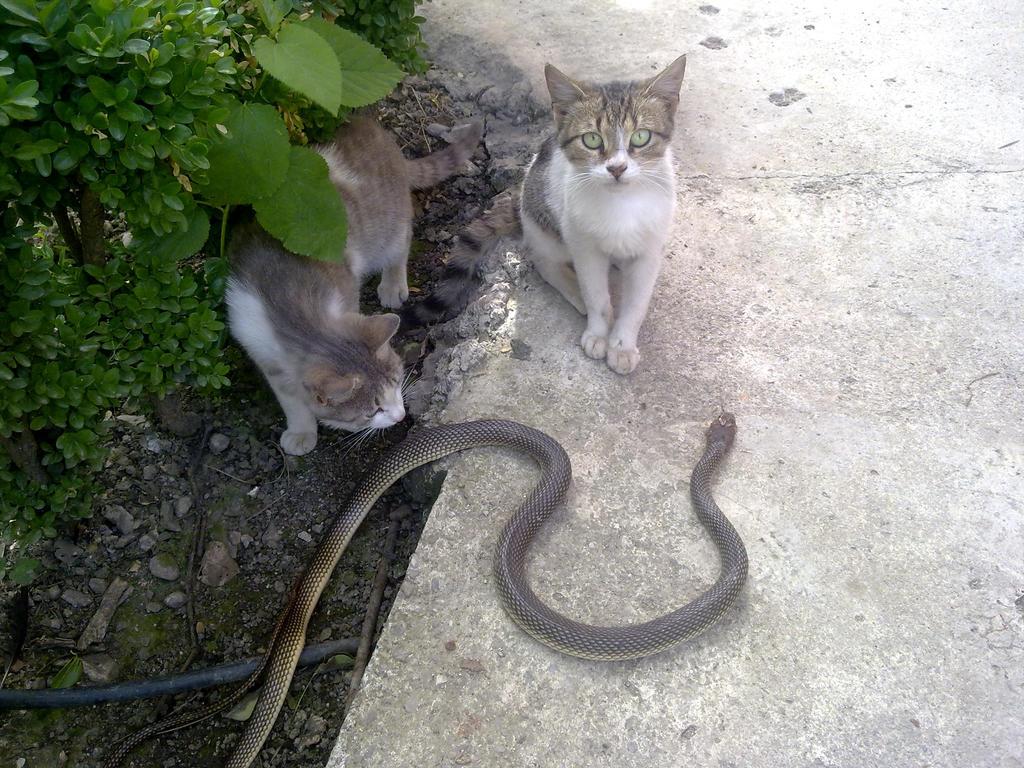 cat vs snake by isaphlvn on deviantart. Black Bedroom Furniture Sets. Home Design Ideas