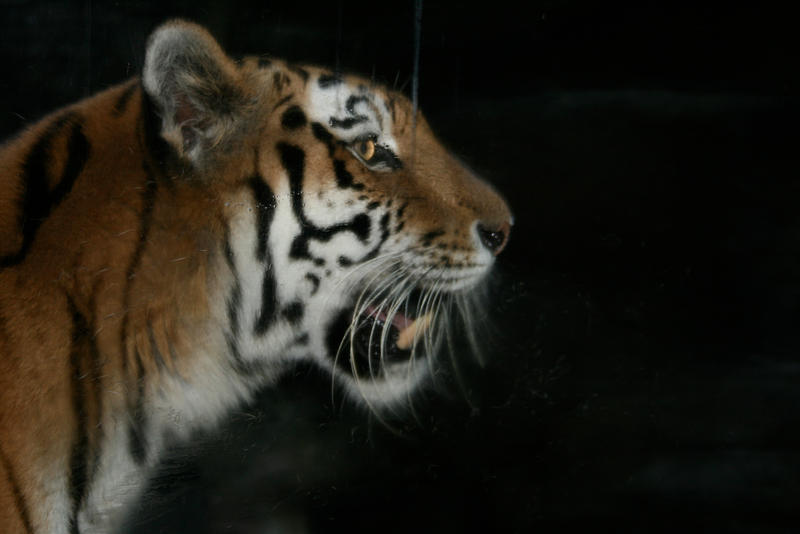Tiger: Side View of Head by FeatheredDragon on DeviantArt - photo#35