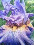 Iris - Efflorescence