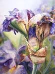 Iris - Elder